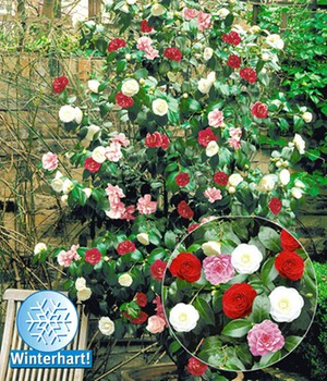 Immergrune Straucher Kaufen Bestellen Bei Baldur Garten
