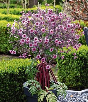 geranium b umchen madeira pflege geranium maderense. Black Bedroom Furniture Sets. Home Design Ideas