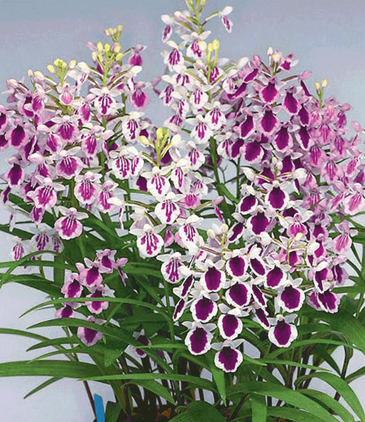 Japan-Orchideen 'Ponerorchis-Mix'