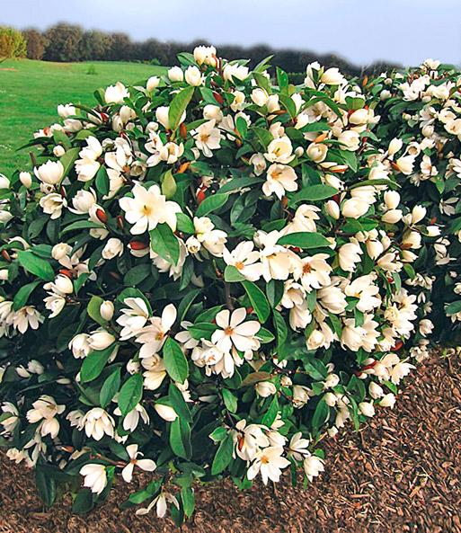 duft magnolien hecke 39 fairy 39 magnolie bei baldur garten. Black Bedroom Furniture Sets. Home Design Ideas
