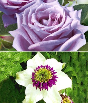 Set Clematis 'Florida Sieboldii' & Rose 'Mamy Blue®'