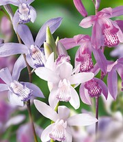 Japanorchidee 'Bletilla Mix'