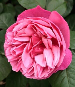edelrosen online kaufen rosen bestellen bei baldur garten. Black Bedroom Furniture Sets. Home Design Ideas