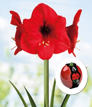 Artist Ball Amaryllis 'Red Lion'