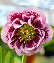 Christrose 'Double Pink Spotted'