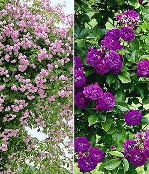 Rambler Rosen online kaufen & bestellen bei BALDUR-Garten