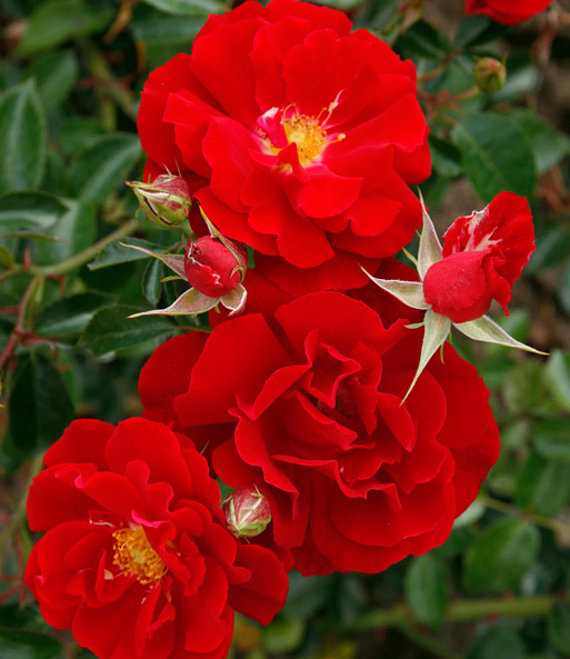 Rose 'Mainaufeuer®'