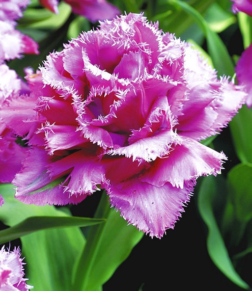 Tulpe 'Matchpoint'