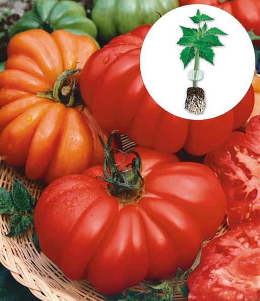 veredelte tomate 39 costoluto genoves tomaten jungpflanzen bei baldur garten. Black Bedroom Furniture Sets. Home Design Ideas