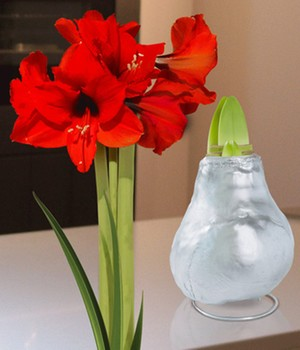 Wachs-Amaryllis 'Touch of Gloss' Silber