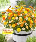 Winterharte Calendula-Mix 'Winter Wonders®'