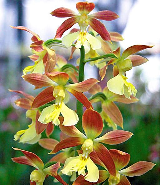 calanthe 39 sieboldii 39 orchideen winterhart bei baldur garten. Black Bedroom Furniture Sets. Home Design Ideas