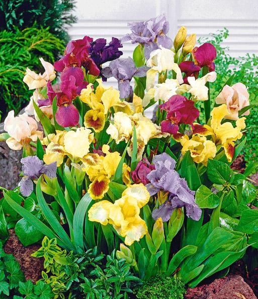 iris mix 39 breeders favorite 39 winterharte stauden bei baldur garten. Black Bedroom Furniture Sets. Home Design Ideas