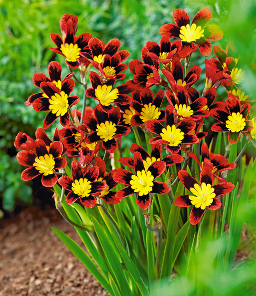 Sparaxis 'Fire King'