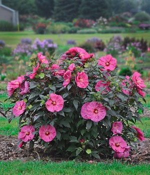 Winterharter Hibiskus 'Summerific®' 'Berry Awesome'
