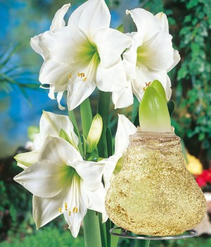 Weiße Wachs-Amaryllis 'Touch of Magic' Gold