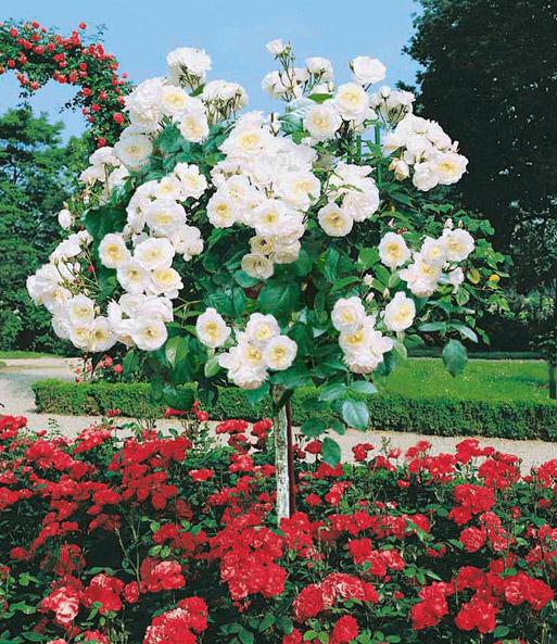 Rosen-Stämmchen Alabaster: 1A-Qualität kaufen | BALDUR-Garten