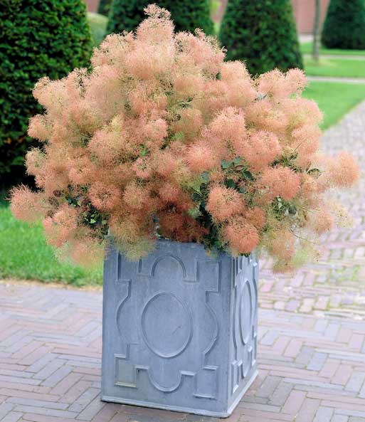 Cotinus 'Young Lady'