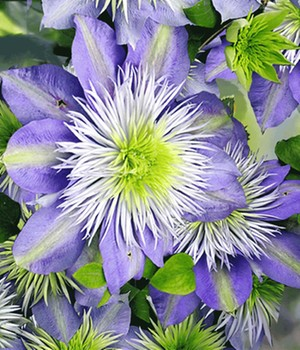 Clematis 'Crystal Fountain TM'
