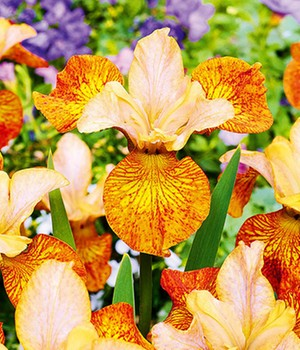 Iris 'Peacock Butterfly® Ginger Twist'
