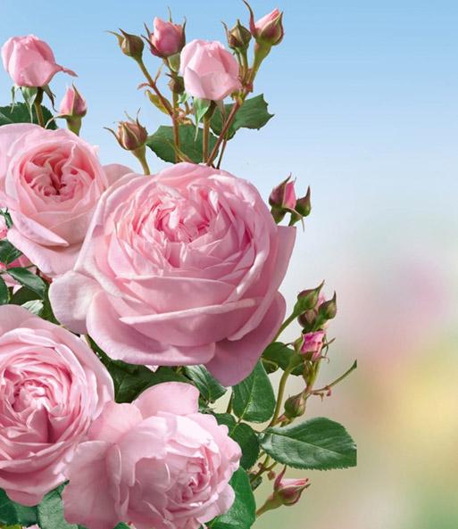 Kletter-Rose Nahéma®: 1A-Rosenpflanzen bestellen ...