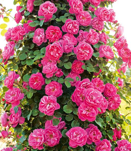 kletterrose allegro 1a rosenpflanzen baldur garten. Black Bedroom Furniture Sets. Home Design Ideas