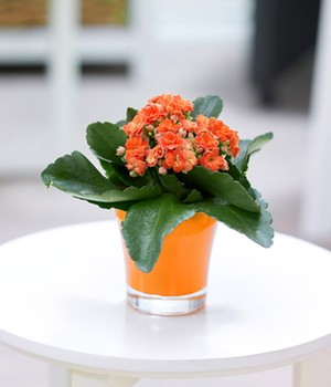 Kalanchoe orange + Teelicht-Übertopf orange