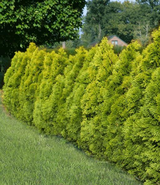 Thuja Giftig thuja lebensbaum golden smaragd immergrüne hecke bei baldur garten
