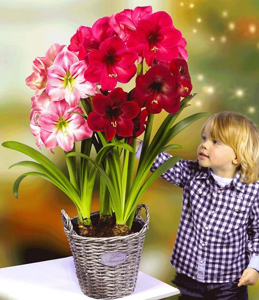amaryllis mix bl hende zimmerpflanzen bei baldur garten. Black Bedroom Furniture Sets. Home Design Ideas