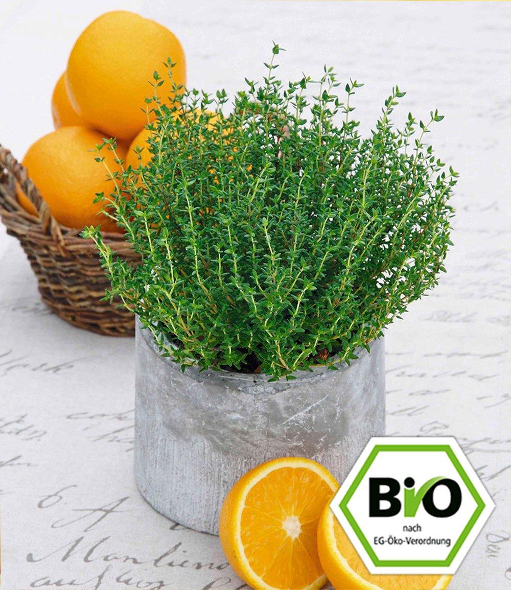 bio orangenthymian top pflanzen kaufen baldur garten. Black Bedroom Furniture Sets. Home Design Ideas