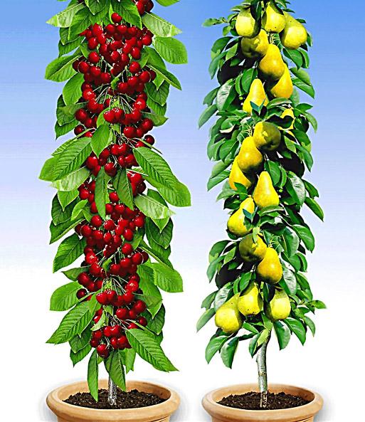 Außergewöhnlich Säulenobst-Duo 'Birne & Kirsche' | Weitere Obstbäume bei BALDUR-Garten &HX_13