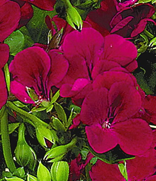 h nge geranie villetta 39 burgundy 39 h ngepflanzen bei. Black Bedroom Furniture Sets. Home Design Ideas