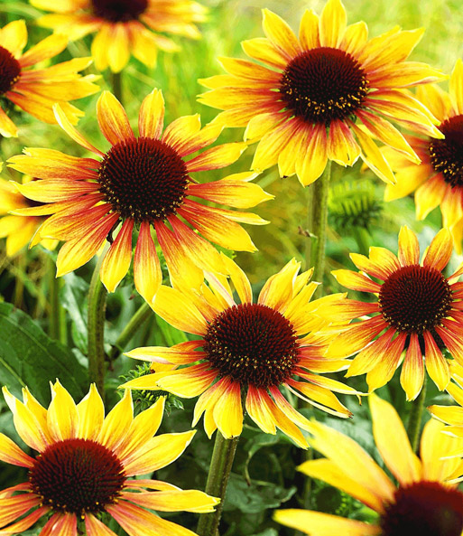 duft echinacea 39 golden summer 39 gartenstauden bei baldur garten. Black Bedroom Furniture Sets. Home Design Ideas