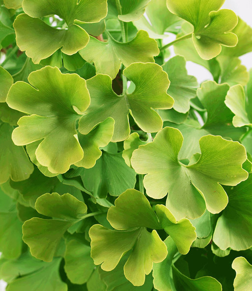 ginkgo biloba 1a pflanzen online kaufen baldur garten. Black Bedroom Furniture Sets. Home Design Ideas