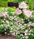Rhododendron 'Nugget by Bloombux®'