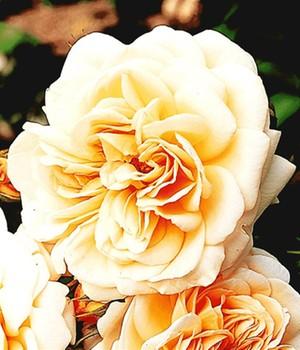 Edelrosen online kaufen  Rosen bestellen bei BALDUR Garten