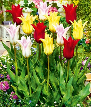 Tulpen-Mix 'Chic & Beautiful'