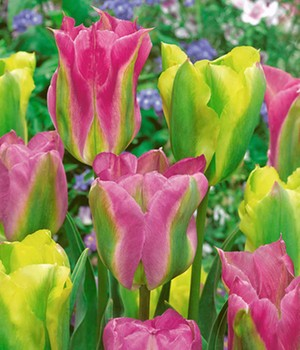 Tulpen-Mix 'Green Chic'