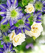 Set Clematis 'Crystal Fountain TM Fairy Blue' & Rose 'Blanche Colombe®'