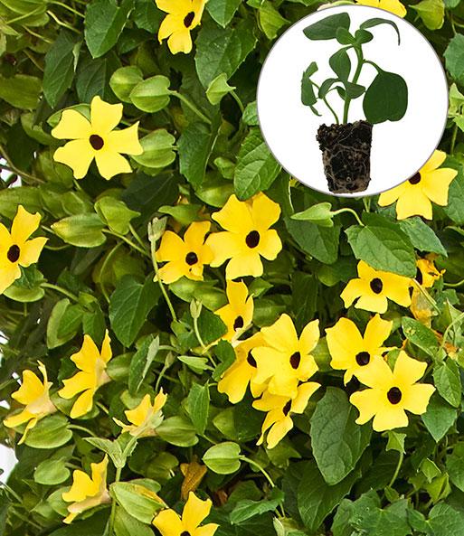 thunbergia 39 arizona yellow dark ey h ngepflanzen jungpflanzen bei baldur garten. Black Bedroom Furniture Sets. Home Design Ideas