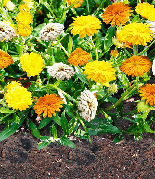 Bodendecker-Calendula-Mix 'Winter Creepers®'