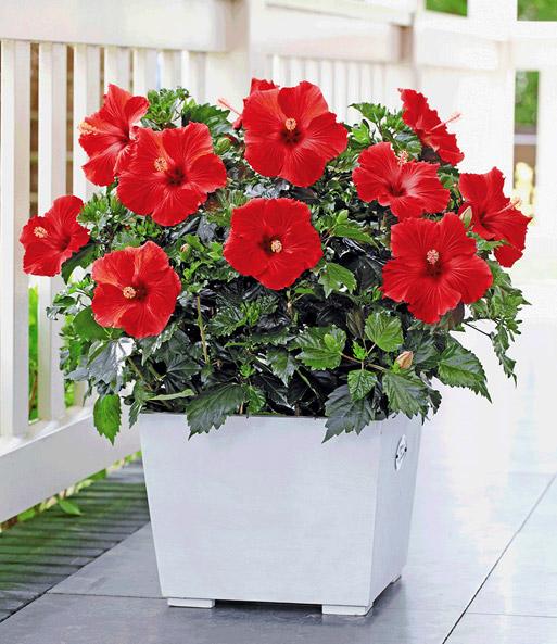 hibiskus 39 roter alex 39 sommerblumen f r k bel bei baldur. Black Bedroom Furniture Sets. Home Design Ideas