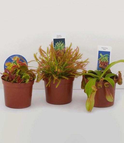 fleischfressende pflanzen set zimmerpflanzen bei baldur. Black Bedroom Furniture Sets. Home Design Ideas
