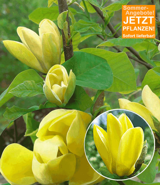 Duft-Magnolie 'Yellow Bird'