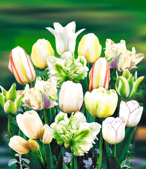 Tulpen-Mix-Kollektion 'Perfect Partners®'