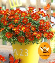 Bidens 'Beedance® Painted Red'