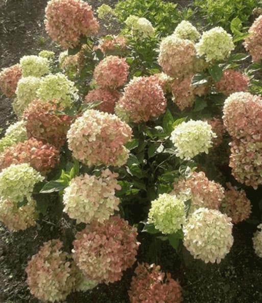 Hortensie 'Little Lime®'