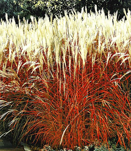 Gartengräser Winterhart gräser kollektion ziergräser bei baldur garten