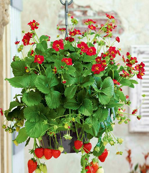 Lieblings Balkon-Erdbeere Ruby Ann: 1A-Qualität | BALDUR-Garten @SW_44