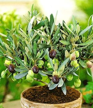 olivenbaum pflege tipps zum pflanzen pflegen von oliven. Black Bedroom Furniture Sets. Home Design Ideas